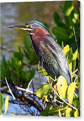 Green Heron At Minwr Canvas Print