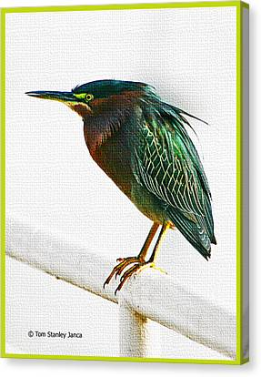 Green Heron In Scottsdale Canvas Print