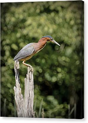Green Heron On Stump Canvas Print by Bradley Clay