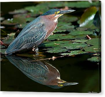 Canvas Print featuring the photograph Green Heron Reflection 1 by Avian Resources