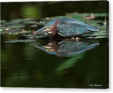 Green Heron Reflection 2 Canvas Print