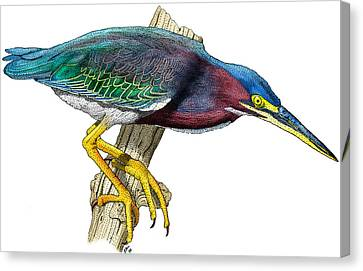 Green Heron Canvas Print by Roger Hall