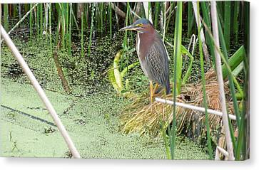 Canvas Print featuring the pyrography Green Heron by Ron Davidson