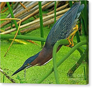 Green Heron The Stretch Canvas Print