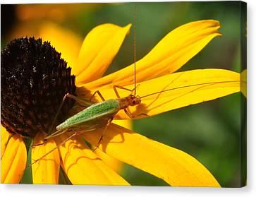 Insects Canvas Print - Green Hopper by J Scott Davidson