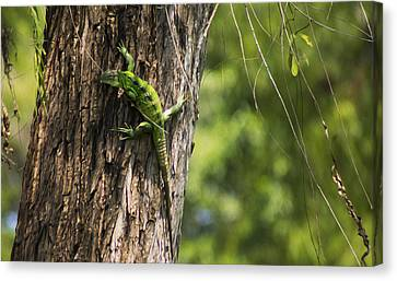 Green Iguana Canvas Print by Aged Pixel