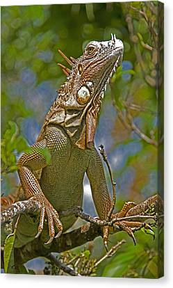 Canvas Print featuring the photograph Green Iguana by Dennis Cox WorldViews
