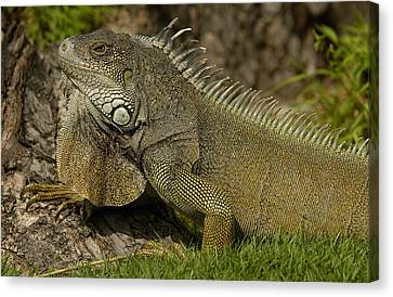 Green Iguana Guayaquil Ecuador Canvas Print by Pete Oxford