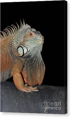 Green Iguana  Canvas Print by Judy Whitton