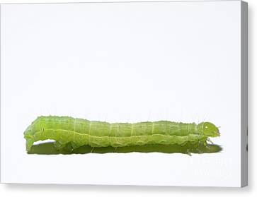 Green Inchworm On White Background Canvas Print by Sami Sarkis