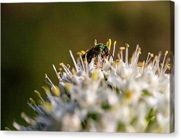 Green Iredescent Bee 5 Canvas Print