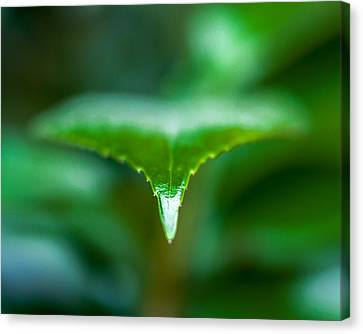 Green Leaf Canvas Print by Todd Soderstrom