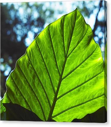 Green Leaf Trilogy II Canvas Print by Silke Brubaker