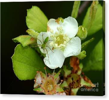 Green Lynx Spider On Blossom Canvas Print by Theresa Willingham