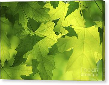 Green Maple Leaves Canvas Print