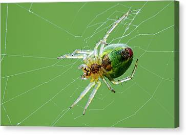 Green Orb Weaver Spider Canvas Print by Heath Mcdonald