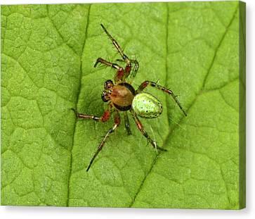 Green Orb-weaver Spider Canvas Print by Nigel Downer