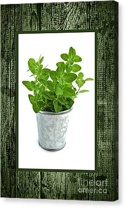 Green Oregano Herb In Small Pot Canvas Print