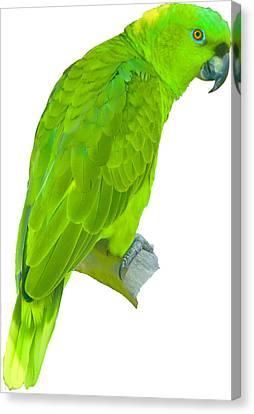 Green Parrot Canvas Print
