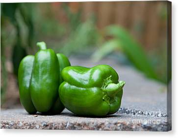 Green Peppers Canvas Print by Kay Pickens