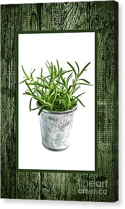 Green Rosemary Herb In Small Pot Canvas Print