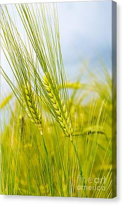 Green Rye Canvas Print by Boon Mee