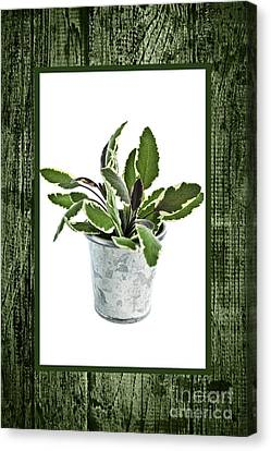 Green Sage Herb In Small Pot Canvas Print