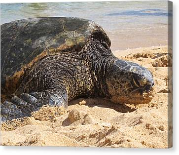 Green Sea Turtle 2 - Kauai Canvas Print