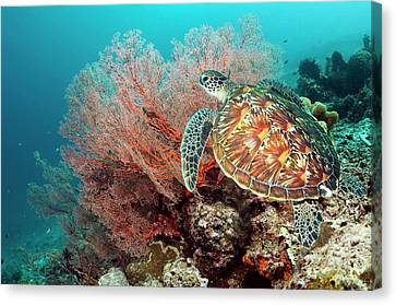 Green Sea Turtle And Gorgonian Canvas Print by Georgette Douwma