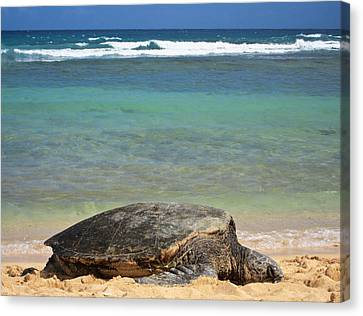Green Sea Turtle - Kauai Canvas Print