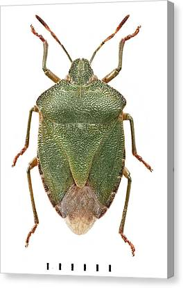 Green Shield Bug Canvas Print by Natural History Museum, London