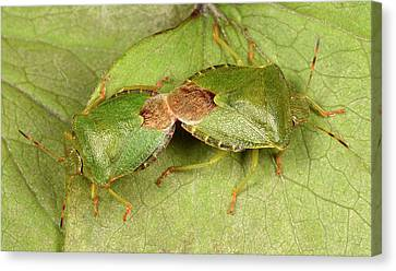 Green Shield Bugs Mating Canvas Print by Nigel Downer