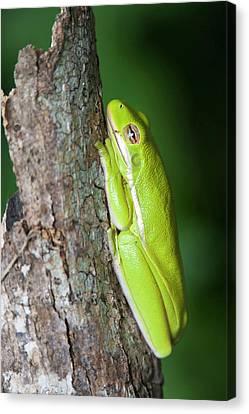 Green Tree Frog (hyla Cinerea Canvas Print