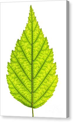 Green Tree Leaf Canvas Print by Elena Elisseeva