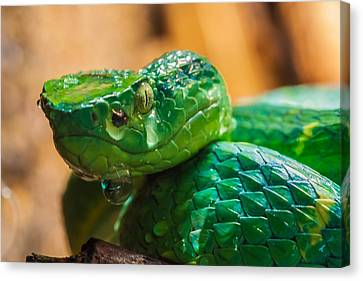 Green Tree Pit Viper Canvas Print by Craig Lapsley