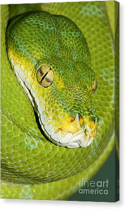 Canvas Print featuring the photograph Green Tree Python #2 by Judy Whitton