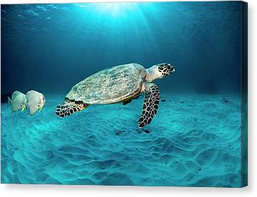 Green Turtle And Circular Spadefish Canvas Print by Georgette Douwma