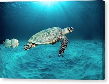 Green Turtle And Circular Spadefish Canvas Print