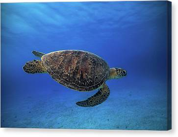 Green Turtle In The Blue Canvas Print by Barathieu Gabriel