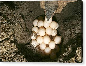 Green Turtle Laying Eggs Canvas Print