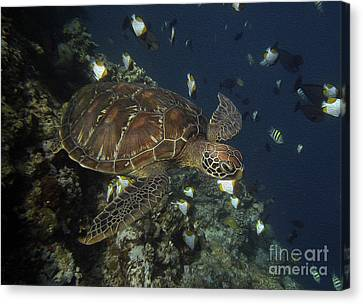 Hawksbill Turtle Canvas Print by Sergey Lukashin