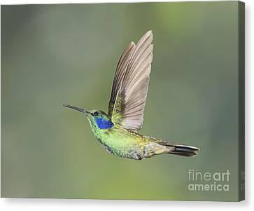 Canvas Print featuring the photograph Green Violet-ear Hummingbird by Dan Suzio