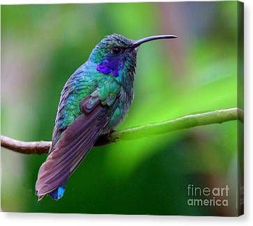 Green Violet Ear Hummingbird Canvas Print