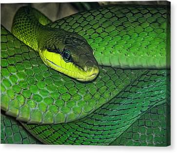 Green Viper Canvas Print by Joachim G Pinkawa