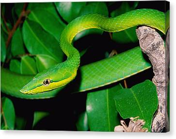 Whip-snake Canvas Print - Green Whip Snake by John Cancalosi