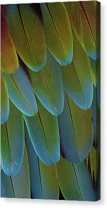 Green-winged Macaw Wing Feathers Canvas Print by Darrell Gulin