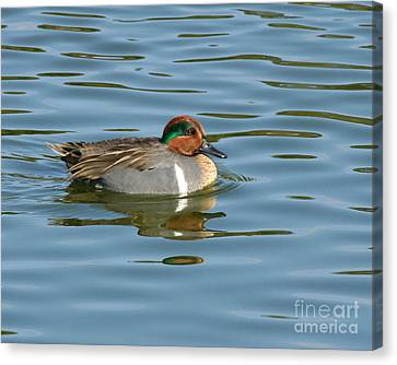 Green-winged Teal  Canvas Print