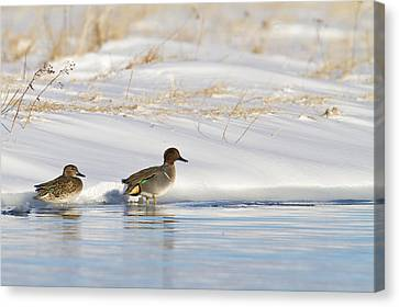 Green Winged Teal On Ice Canvas Print