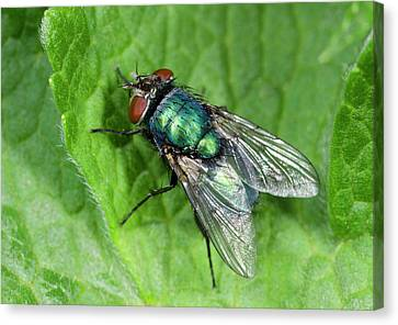 Greenbottle Canvas Print by Nigel Downer