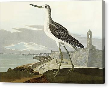 Greenshank Canvas Print by John James Audubon